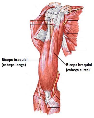 Lesão proximal do bíceps - Especialista em doenças do ombro e ...